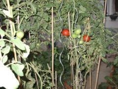 Tomatensteun Verzinkt Spiraalvormig H180Cm X 6.8Mm