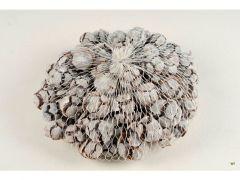 Cypressus 500Gr White-Wash